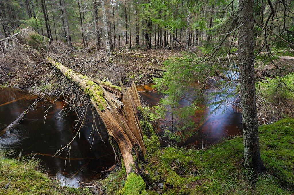 River Tarvasjõgi and broken fir tree
