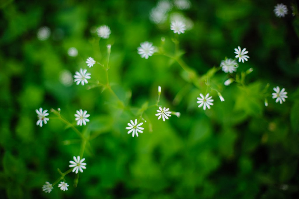 Blossoming Greater Stitchwort